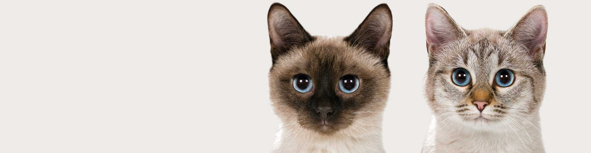 Witamy na stronieHodowli Kotów RasowychViosna*PL